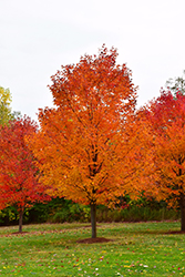 Commemoration Sugar Maple (Acer saccharum 'Commemoration') at Peck's Green Thumb Nursery