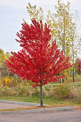 Autumn Spire Red Maple (Acer rubrum 'Autumn Spire') at Peck's Green Thumb Nursery