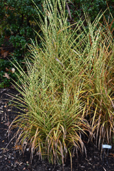 Gold Breeze Maiden Grass (Miscanthus sinensis 'Gold Breeze') at Peck's Green Thumb Nursery