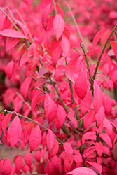 Cole's Compact Burning Bush (Euonymus alatus 'Cole's Compact') at Peck's Green Thumb Nursery