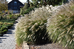 Gracillimus Maiden Grass (Miscanthus sinensis 'Gracillimus') at Peck's Green Thumb Nursery