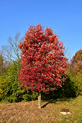 Autumn Flame Red Maple (Acer rubrum 'Autumn Flame') at Peck's Green Thumb Nursery