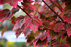 Brandywine Red Maple (Acer rubrum 'Brandywine') at Peck's Green Thumb Nursery