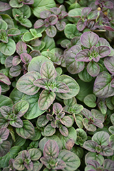 Oregano (Origanum vulgare) at Peck's Green Thumb Nursery