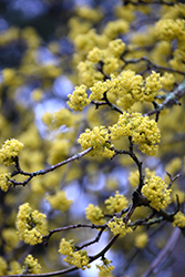 Cornelian Cherry Dogwood (Cornus mas) at Peck's Green Thumb Nursery