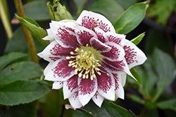 Painted Doubles Hellebore (Helleborus 'Painted Doubles') at Peck's Green Thumb Nursery