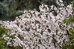 Nanking Cherry (Prunus tomentosa) at Peck's Green Thumb Nursery