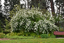 The Bride Pearlbush (Exochorda x macrantha 'The Bride') at Peck's Green Thumb Nursery