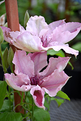 Pink Fantasy Clematis (Clematis 'Pink Fantasy') at Peck's Green Thumb Nursery