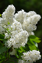 White French Lilac (Syringa vulgaris 'Alba') at Peck's Green Thumb Nursery