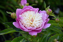 Bowl Of Beauty Peony (Paeonia 'Bowl Of Beauty') at Peck's Green Thumb Nursery