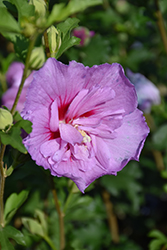 Lavender Chiffon Rose Of Sharon (Hibiscus syriacus 'Notwoodone') at Peck's Green Thumb Nursery