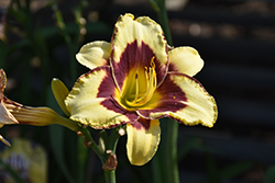 El Desperado Daylily (Hemerocallis 'El Desperado') at Peck's Green Thumb Nursery