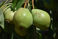 Luscious Pear (Pyrus communis 'Luscious') at Peck's Green Thumb Nursery
