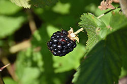 Jewel Black Raspberry (Rubus occidentalis 'Jewel') at Peck's Green Thumb Nursery