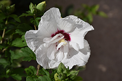 Bali™ Rose of Sharon (Hibiscus syriacus 'Minfren') at Peck's Green Thumb Nursery