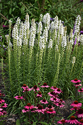 Floristan White Blazing Star (Liatris spicata 'Floristan White') at Peck's Green Thumb Nursery