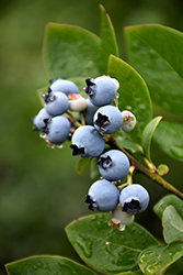 Northblue Blueberry (Vaccinium 'Northblue') at Peck's Green Thumb Nursery
