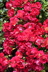 Red Drift® Rose (Rosa 'Meigalpio') at Peck's Green Thumb Nursery
