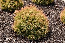 Fire Chief™ Arborvitae (Thuja occidentalis 'Congabe') at Peck's Green Thumb Nursery