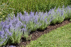 Lacey Blue Russian Sage (Perovskia atriplicifolia 'Lacey Blue') at Peck's Green Thumb Nursery