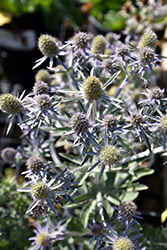 Blue Hobbit Sea Holly (Eryngium planum 'Blue Hobbit') at Peck's Green Thumb Nursery