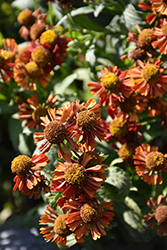 Ruby Tuesday Sneezeweed (Helenium 'Ruby Tuesday') at Peck's Green Thumb Nursery