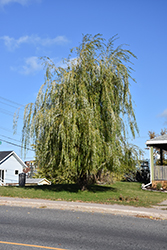 Prairie Cascade Weeping Willow (Salix 'Prairie Cascade') at Peck's Green Thumb Nursery