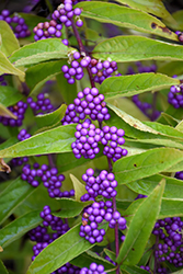 Issai Beautyberry (Callicarpa dichotoma 'Issai') at Peck's Green Thumb Nursery