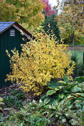 Vernal Witchhazel (Hamamelis vernalis) at Peck's Green Thumb Nursery