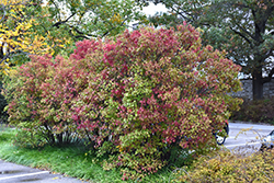 Autumn Jazz Viburnum (Viburnum dentatum 'Ralph Senior') at Peck's Green Thumb Nursery