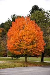 Majesty Sugar Maple (Acer saccharum 'Flax Mill Majesty') at Peck's Green Thumb Nursery