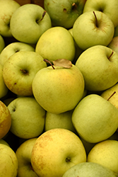Golden Delicious Apple (Malus 'Golden Delicious') at Peck's Green Thumb Nursery