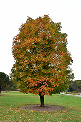 Sugar Maple (Acer saccharum) at Peck's Green Thumb Nursery