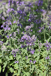 Little Trudy Catmint (Nepeta 'Psfike') at Peck's Green Thumb Nursery