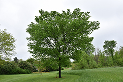 Valley Forge Elm (Ulmus americana 'Valley Forge') at Peck's Green Thumb Nursery