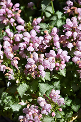 Pink Pewter Spotted Dead Nettle (Lamium maculatum 'Pink Pewter') at Peck's Green Thumb Nursery