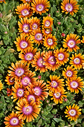 Fire Spinner Ice Plant (Delosperma 'Fire Spinner') at Peck's Green Thumb Nursery
