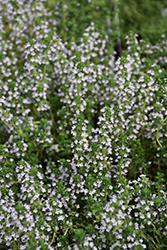 Doone Valley Thyme (Thymus 'Doone Valley') at Peck's Green Thumb Nursery