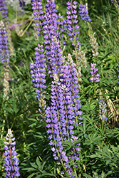 Wild Lupine (Lupinus perennis) at Peck's Green Thumb Nursery