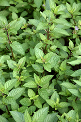 Chocolate Mint (Mentha x piperita 'Chocolate') at Peck's Green Thumb Nursery