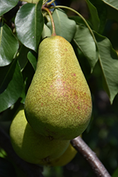 Patten Pear (Pyrus 'Patten') at Peck's Green Thumb Nursery
