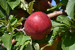 Haralred Apple (Malus 'Haralred') at Peck's Green Thumb Nursery