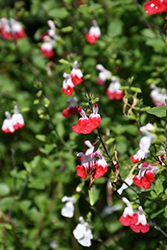 Hot Lips Sage (Salvia microphylla 'Hot Lips') at Peck's Green Thumb Nursery