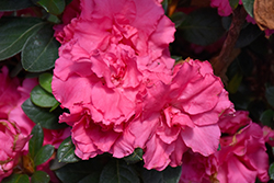 Bloom-A-Thon® Pink Double Azalea (Rhododendron 'RLH1-2P8') at Peck's Green Thumb Nursery