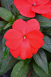 Super Sonic Red New Guinea Impatiens (Impatiens hawkeri 'Super Sonic Red') at Peck's Green Thumb Nursery